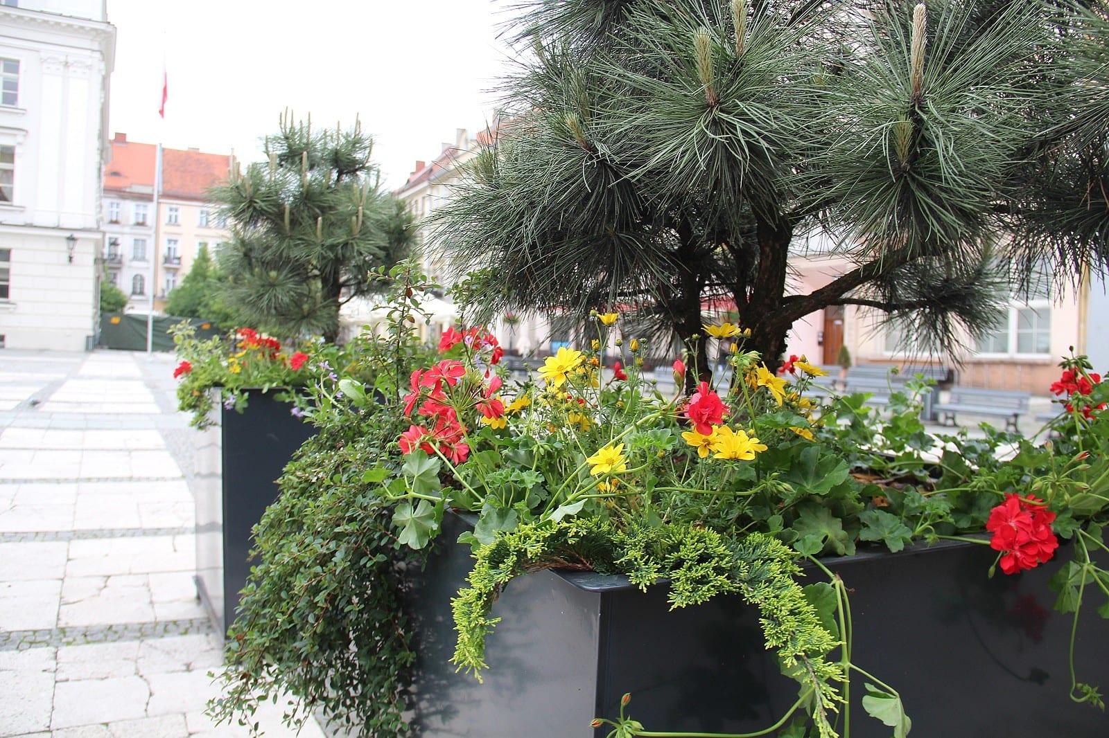 Pelargonie Wilce Miskanty I Rozplenice Tysiace Kwiatow Upiekszy Kalisz Foto